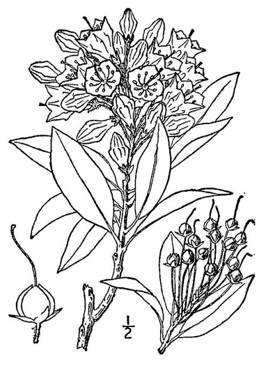 drawing of Kalmia latifolia, Mountain Laurel, Ivy, Calico-bush, Mountain Ivy