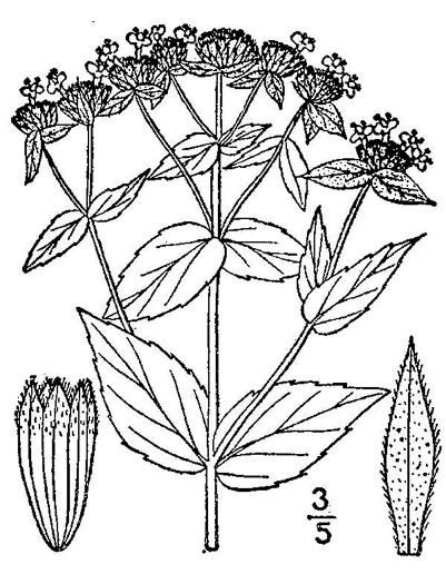 image of Pycnanthemum muticum, Short-toothed Mountain-mint, Downy Mountain-mint