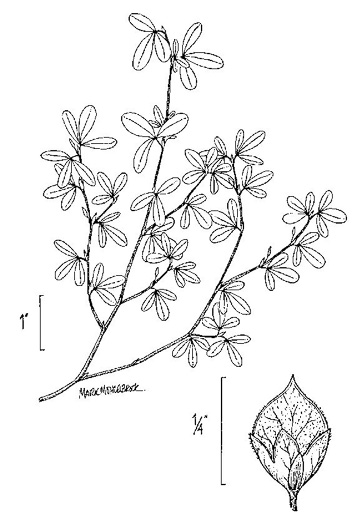 image of Kummerowia striata, Japanese Clover, Common Lespedeza, Annual Lespedeza