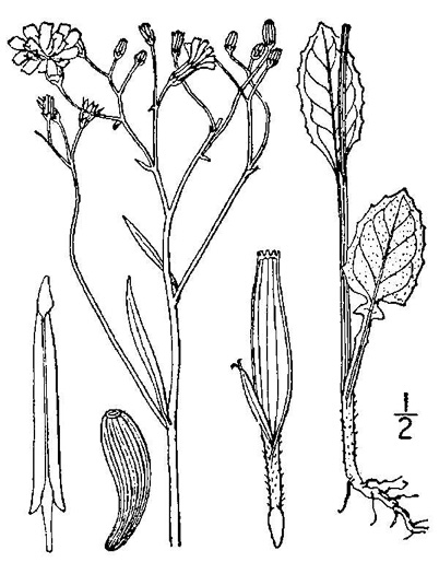image of Lapsana communis, Nipplewort