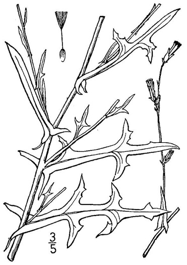 drawing of Lactuca saligna, Willowleaf Lettuce
