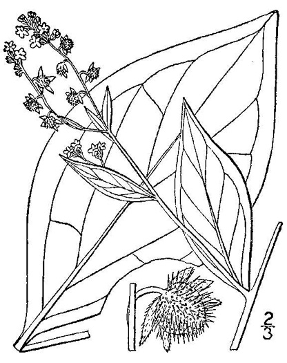 image of Hackelia virginiana, Virginia Stickseed
