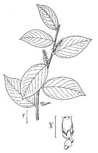 drawing of Leucothoe axillaris, Coastal Doghobble, Coastal Plain Doghobble