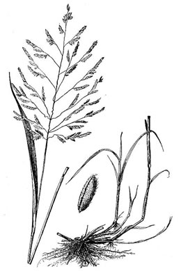 image of Leersia oryzoides, Rice Cutgrass