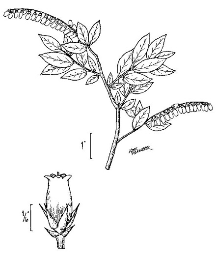 drawing of Eubotrys racemosus, Coastal Fetterbush, Swamp Sweetbells, Swamp Leucothoe, Swamp Fetterbush