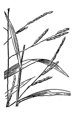 image of Leersia virginica, White Cutgrass, Whitegrass