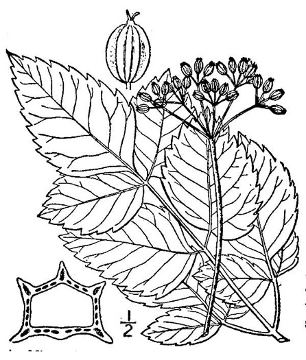 drawing of Ligusticum canadense, American Lovage