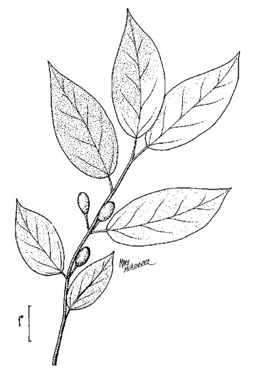 drawing of Lindera melissifolia, Southern Spicebush, Pondberry
