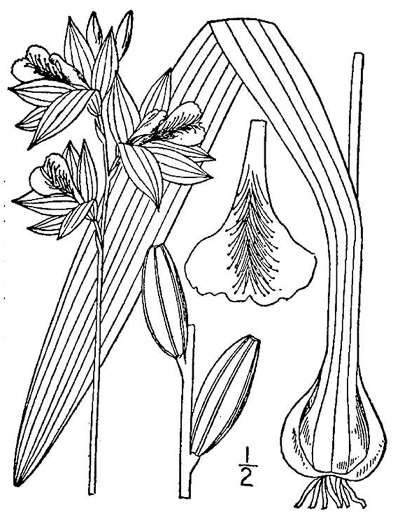 drawing of Calopogon tuberosus var. tuberosus, Common Grass-pink
