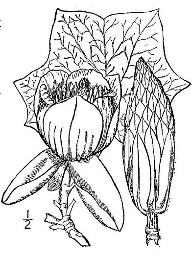 drawing of Liriodendron tulipifera var. tulipifera, Tuliptree, Yellow Poplar, Whitewood
