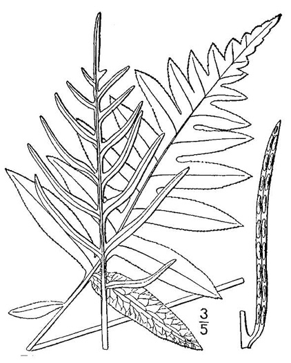 image of Lorinseria areolata, Netted Chain-fern, Net-veined Chainfern