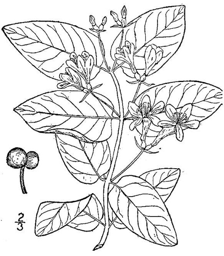 image of Lonicera tatarica, Tatarian Honeysuckle