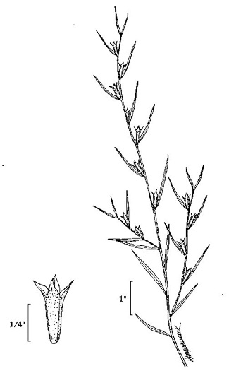 image of Ludwigia alternifolia, Alternate-leaf Seedbox, Bushy Seedbox