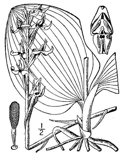 drawing of Platanthera orbiculata, Large Round-leaved Orchid, Dinner-plate Orchid