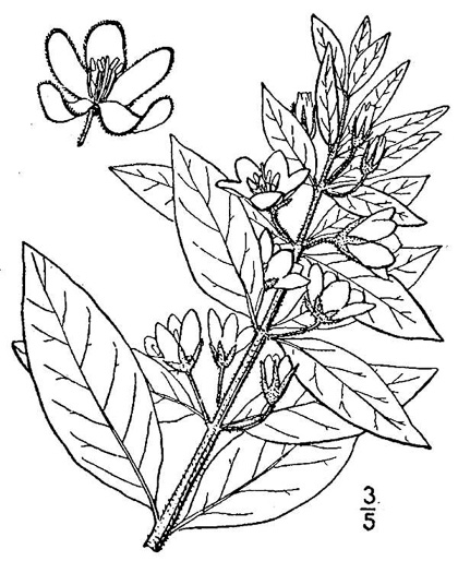 drawing of Lysimachia punctata, Spotted Loosestrife, Dotted Loosestrife, Large Loosestrife