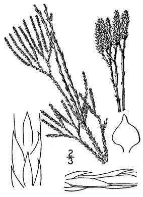 image of Diphasiastrum tristachyum, Blue Running-cedar, Ground-cedar