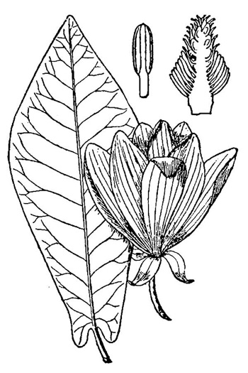 drawing of Magnolia fraseri, Fraser Magnolia, Mountain Magnolia, Earleaf Umbrella-tree, Umbrella Tree