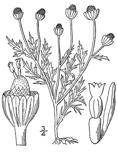 image of Matricaria discoidea, Pineapple-weed, Rayless Chamomile