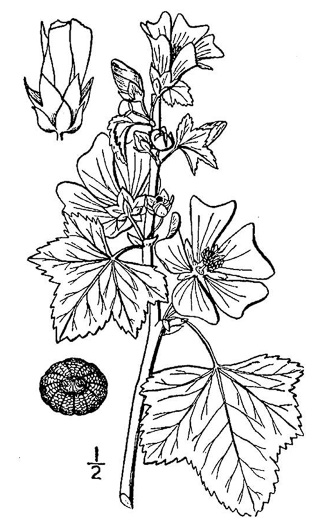 image of Malva sylvestris, High Mallow, Common Mallow, Cheeses