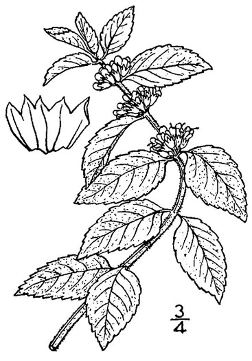 image of Mentha canadensis