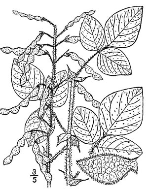 image of Desmodium canescens, Hoary Tick-trefoil