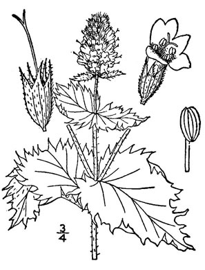 image of Mentha ×piperita var. piperita, Peppermint