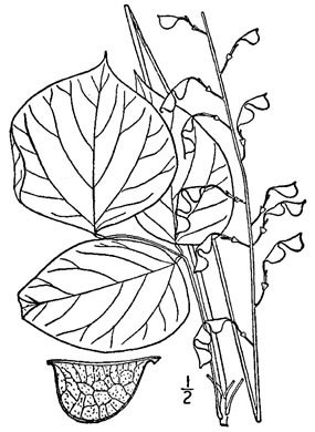 image of Hylodesmum glutinosum, Heartleaf Tick-trefoil, Clusterleaf Tick-trefoil, Pointed-leaved Tick-Trefoil