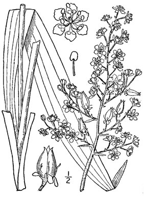 image of Veratrum hybridum, Crisped Bunchflower, Broadleaf Bunchflower