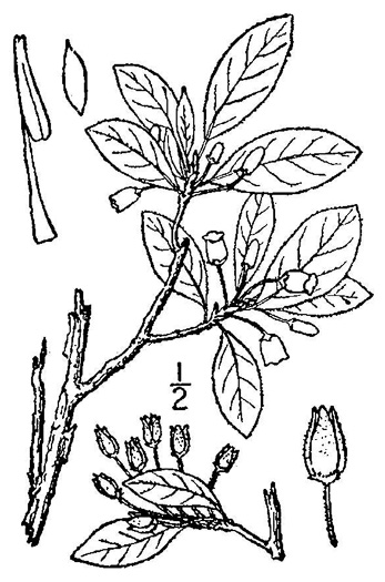 drawing of Rhododendron pilosum, Minniebush