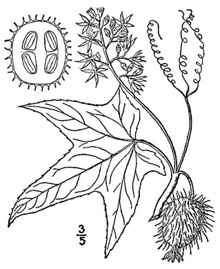 image of Echinocystis lobata, Wild Cucumber, Wild Balsam-apple