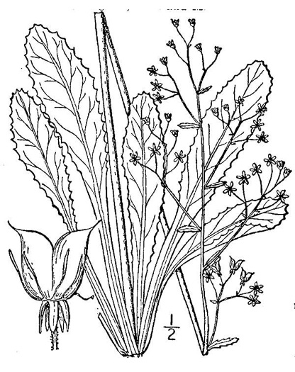 drawing of Micranthes micranthidifolia, Brook Lettuce, Mountain Lettuce, Branch Lettuce, Lettuceleaf Saxifrage