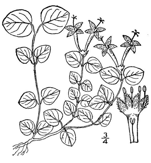 drawing of Mitchella repens, Partridgeberry, Twinflower