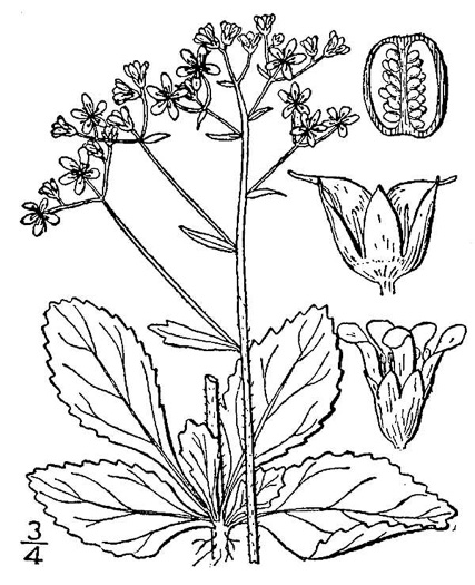 drawing of Micranthes virginiensis, Early Saxifrage