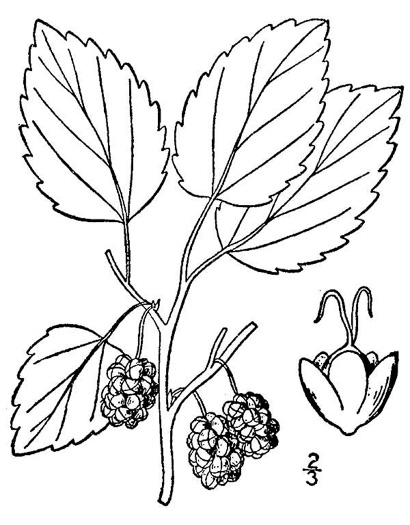 image of Morus alba, White Mulberry, Silkworm Mulberry, Russian Mulberry