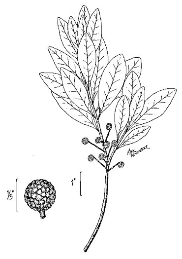 image of Morella inodora, Scentless Bayberry, Odorless Bayberry
