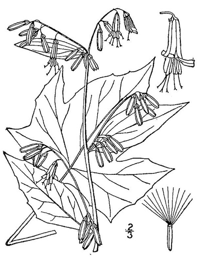 image of Nabalus altissimus, Tall White Lettuce, Tall Rattlesnake-root