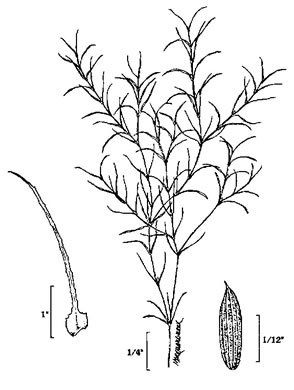 image of Najas minor, Spinyleaf Naiad