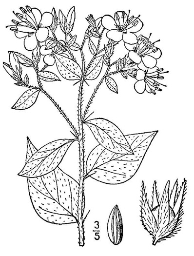 image of Hydrolea ovata, Ovate False Fiddleleaf, Blue Waterleaf, Hairy Hydrolea