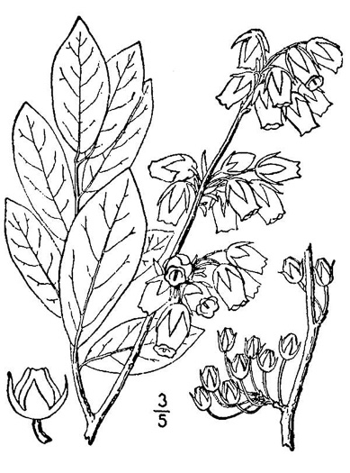image of Lyonia mariana, Staggerbush