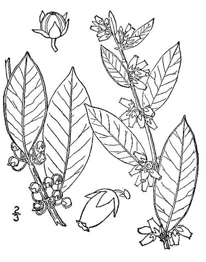 drawing of Lyonia lucida, Shining Fetterbush, Lyonia, Hemleaf