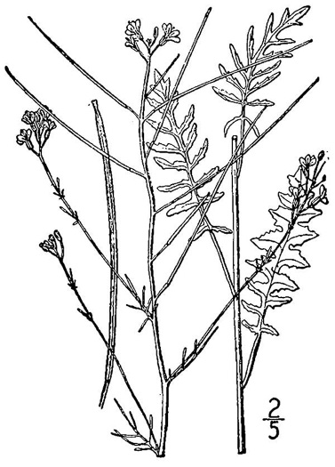 image of Sisymbrium altissimum, Tumble Mustard, Jim Hill Mustard