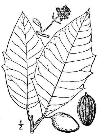 drawing of Nyssa aquatica, Water Tupelo, Cotton Gum, Tupelo Gum