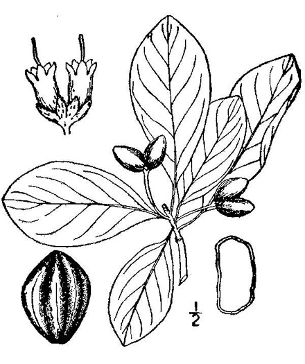 drawing of Nyssa biflora, Swamp Tupelo, Swamp Blackgum, Swamp Gum, Water Gum
