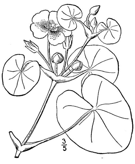 drawing of Nymphoides peltata, Yellow Floating Heart