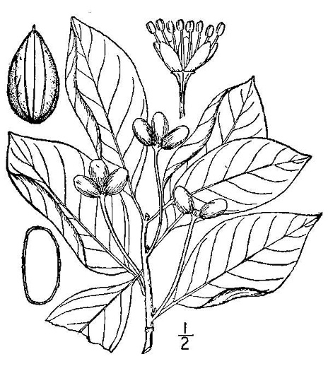 drawing of Nyssa sylvatica, Blackgum, Black Tupelo, Sour Gum