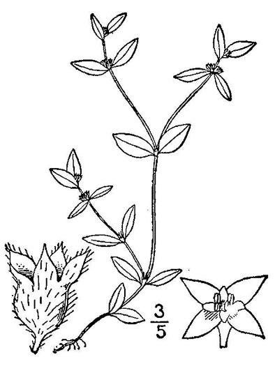 drawing of Edrastima uniflora, Oldenlandia, Clustered Bluet