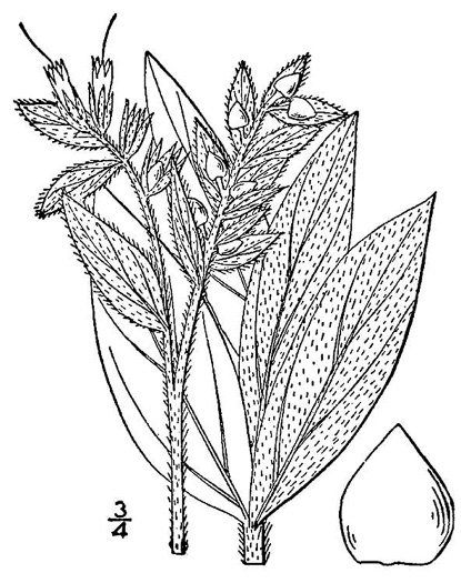 drawing of Lithospermum occidentale, Western Marbleseed