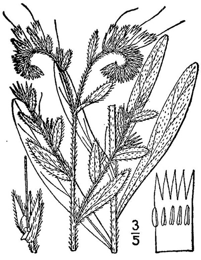 image of Lithospermum virginianum, Virginia Marbleseed, Virginia False Gromwell