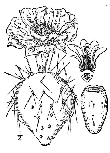 image of Opuntia mesacantha ssp. mesacantha, Eastern Prickly Pear