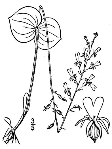 drawing of Listera smallii, Kidneyleaf Twayblade, Appalachian Twayblade, Small's Twayblade